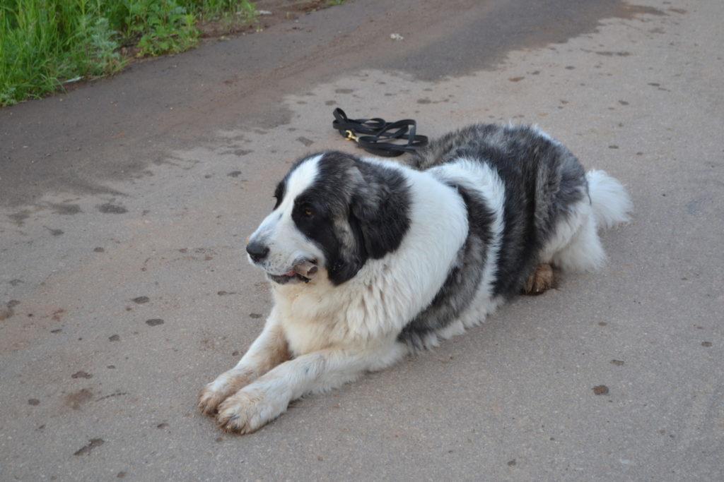 Пиренейский мастиф дрессировка собак