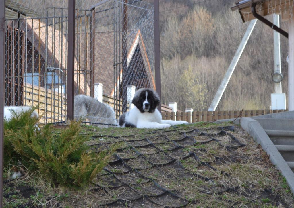 Купить щенка породы Пиренейский мастиф в России