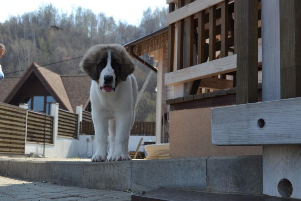 Пиренейский мастиф щенки для продажи
