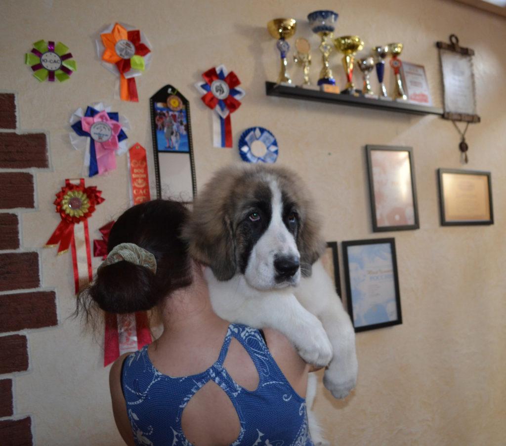 Пиренейский мастиф щенки от чемпионов