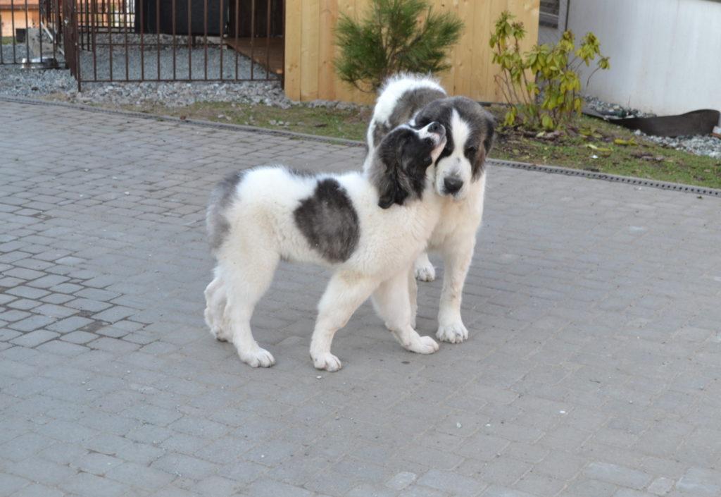Пиренейский мастиф купить щенка из питомника