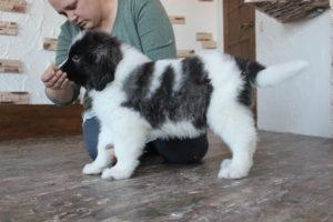 пиренейский мастиф фото щенков