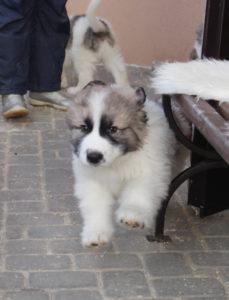 пиренейский мастиф фото собак