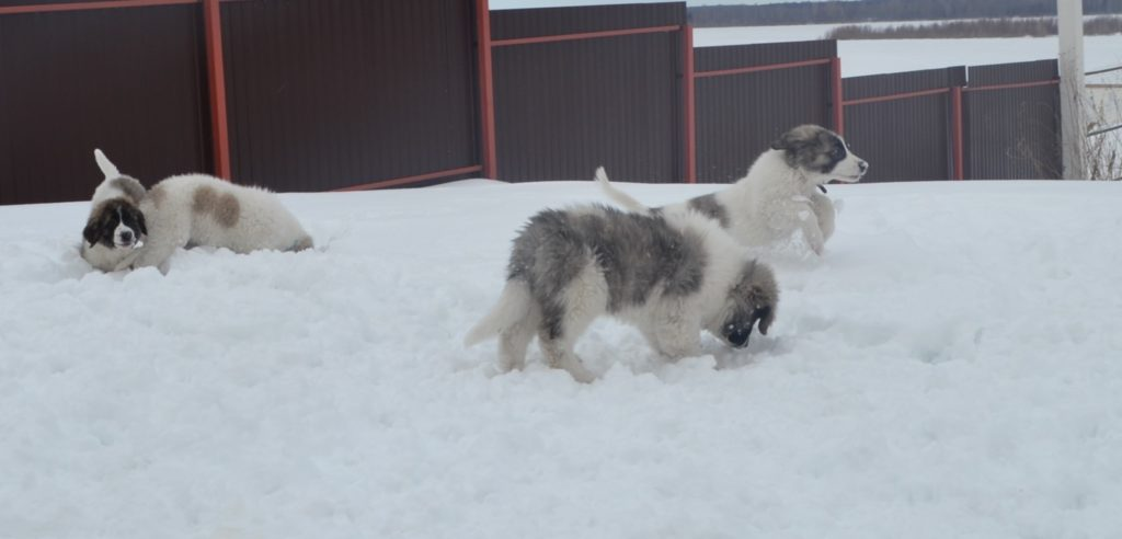 пиренейский мастиф купить щенка