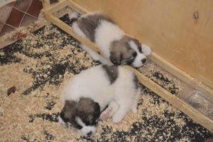 Пиренейский мастиф щенки купить