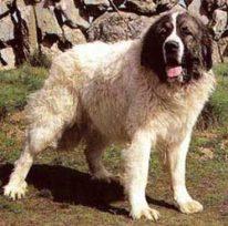 Журнал друг о породе собак пиренейский мастиф