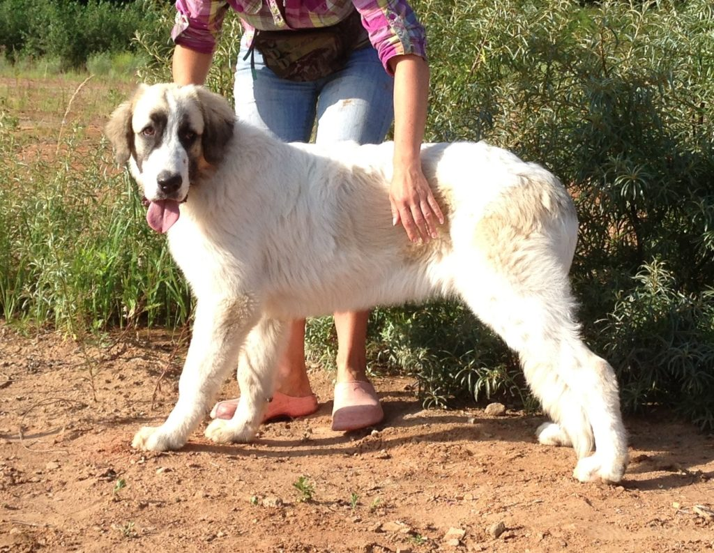 Puppies for sale pyrenean mastiff breed
