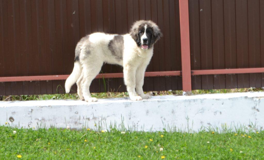 Pyrenean mastiff for sale