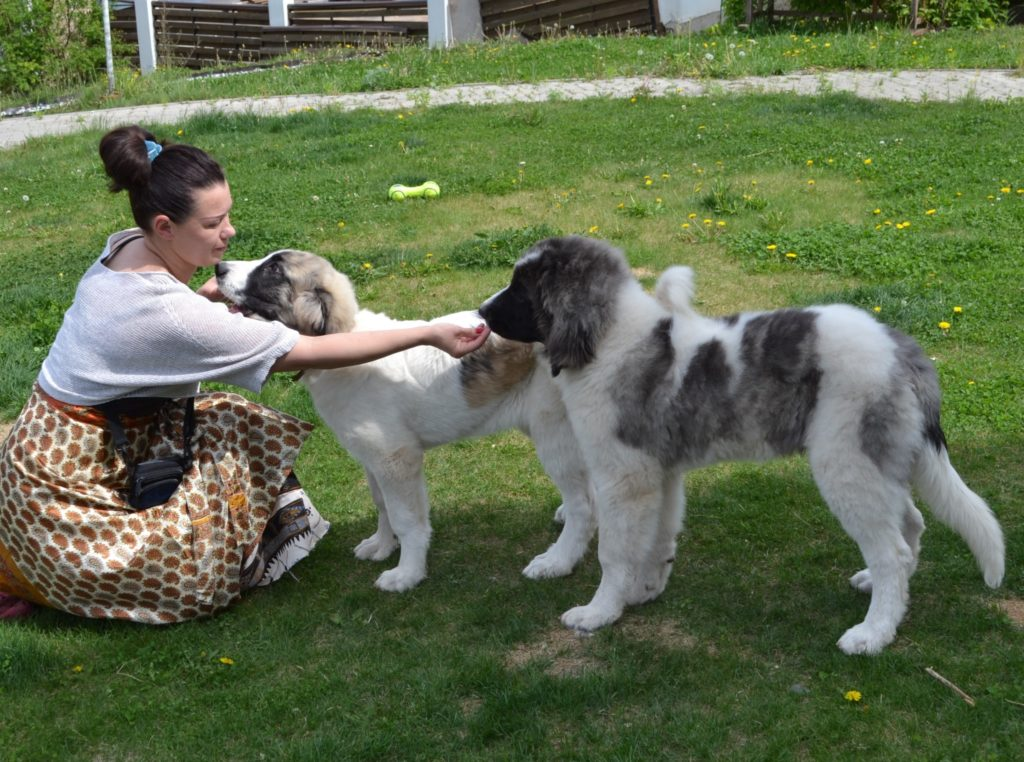 Pyrenean mastiff puppies for sale from world champions