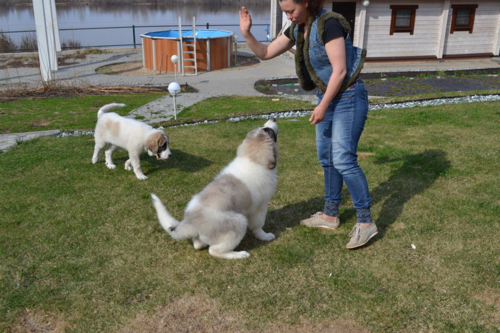 пиренейский мастиф щенки, pyrenean mastiff puppies