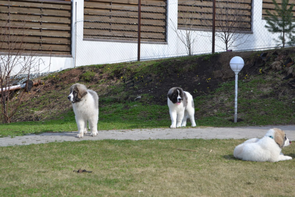 Pyrenean mastiff puppies pictures. Фото щенков породы пиренейский мастиф