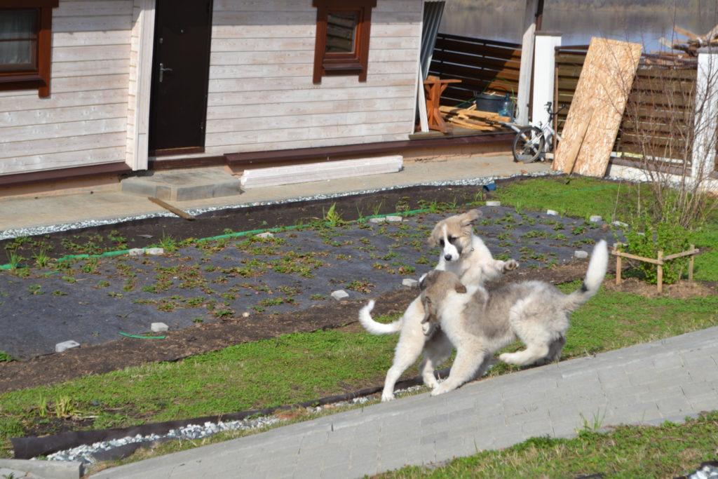 купить щенка пиренейского матифа. Pyrenean mastiffs puppies for sale