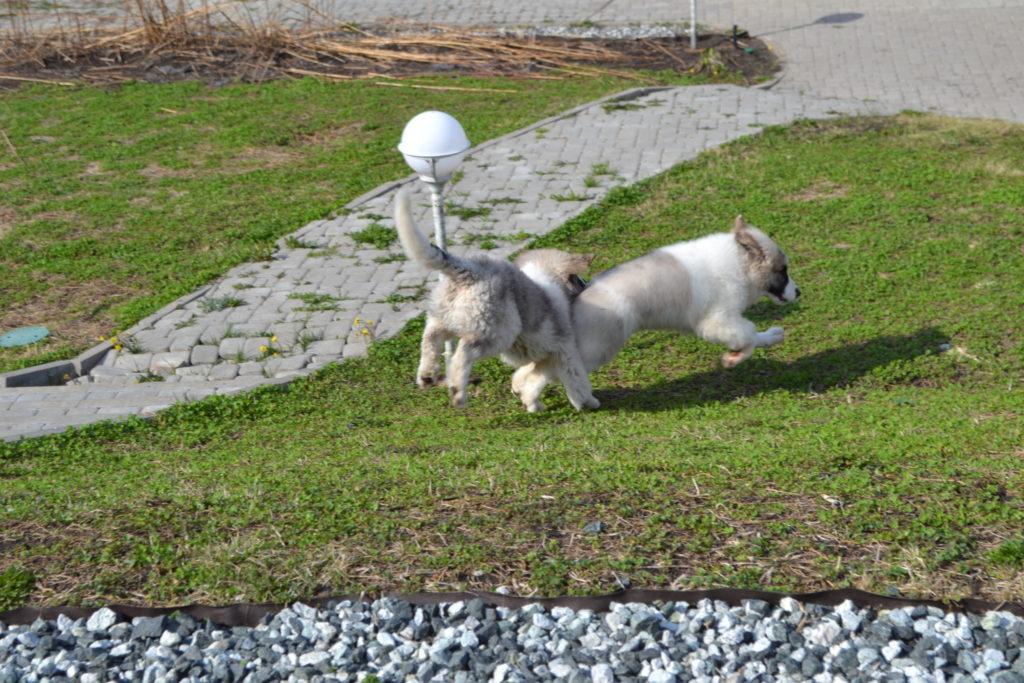 щенки породы пиренейский мастиф играют. Pyrenean mastiff puppies are play