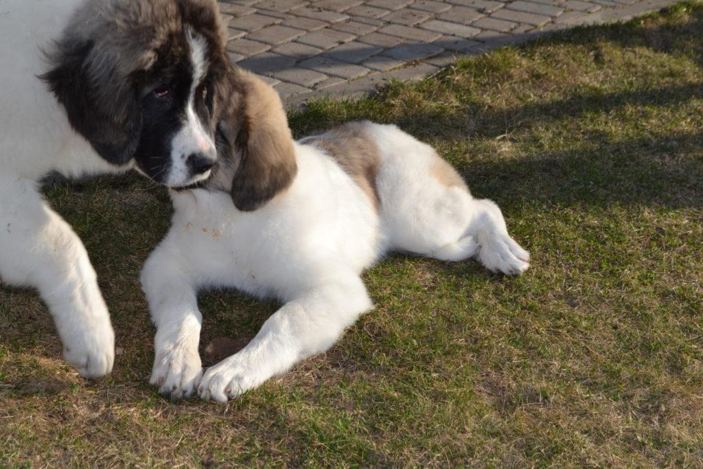 питомник породы пиренейский мастиф. pyrenean mastiffs kennel