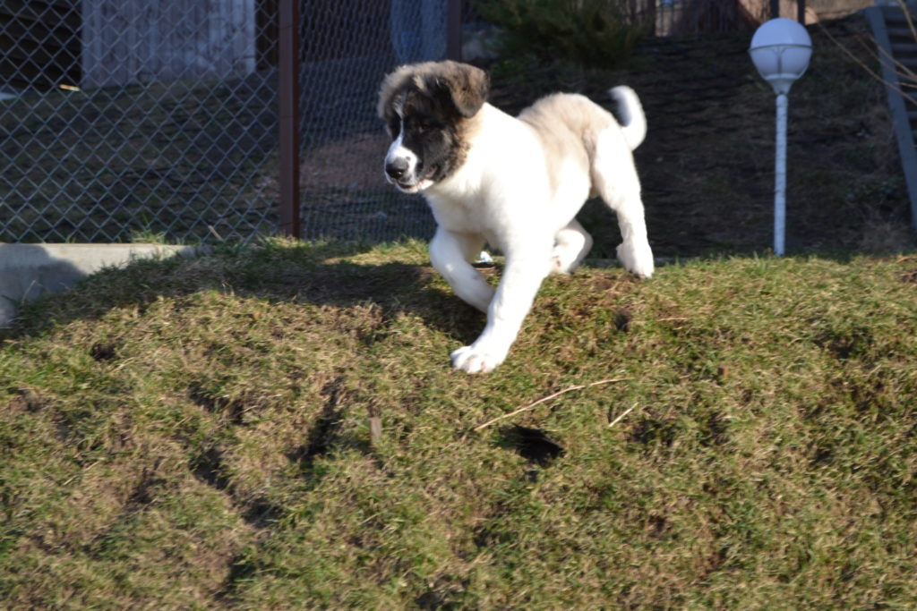 Pyrenean mastiff puppies