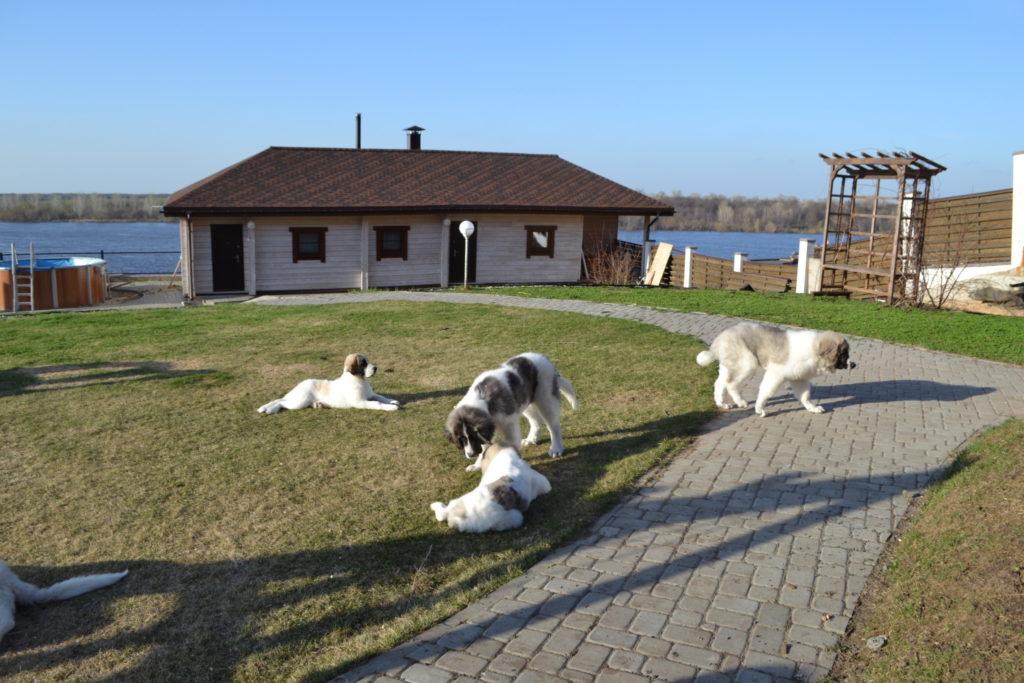 Купить щенков породы пиренейский мастиф в питомнике. Buy pyrenean mastiffs puppies from kennel