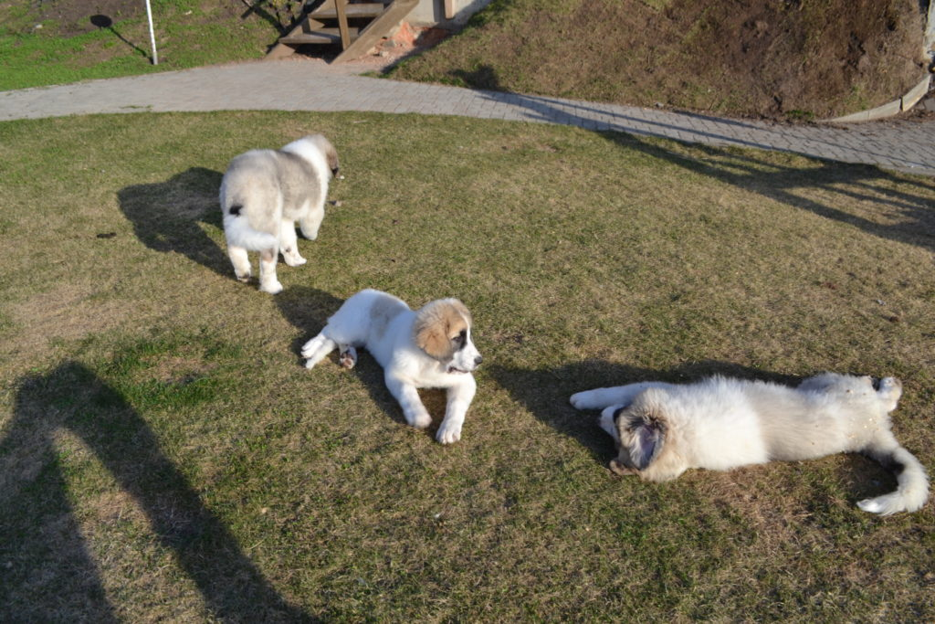 pyrenean mastiffs puppies on the walk. Щенки пиренейского мастифа на прогулке