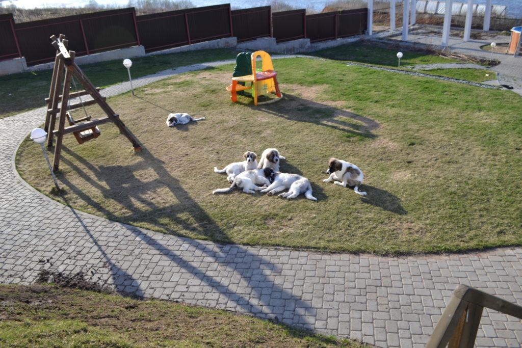 Our pyrenean mastiff puppies. Наши щенки породы пиренейский мастиф