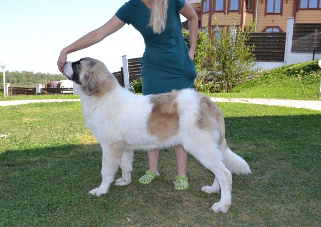 пиренейский мастиф купить щенка в России