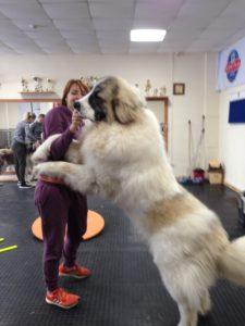 пиренейский мастиф гигантская собака