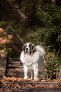 купить щенка в россии породы пиренейский мастиф