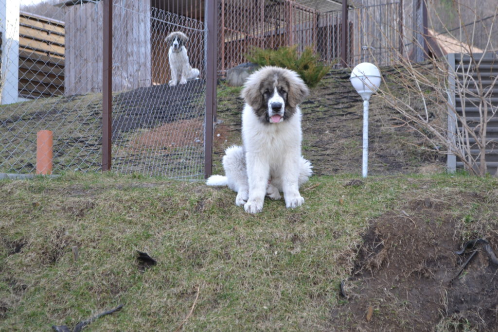 пиренейский мастиф щенки